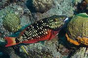 Spotlight Parrotfish Initial Phase (Sparisoma viride)<br /> BONAIRE, Netherlands Antilles, Caribbean<br /> HABITAT & DISTRIBUTION: Reefs from South Florida, Bahamas, Caribbean & Bermuda