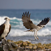 Osprey, Pandion haliaetus, nesting on reef crest
