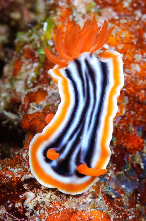 Magnificent chromodoris nudibranch, Maratua, Kalimantan, Indonesia.