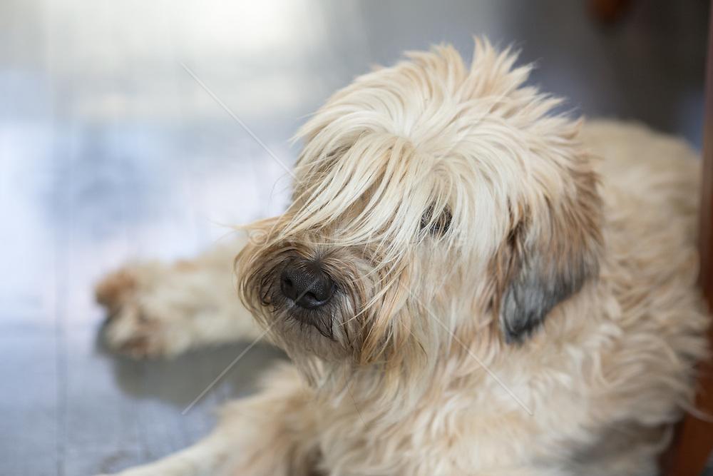shaggy dog looking at camera