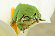 European tree frog, Hyla arborea, On a lily Photographed in Israel in March