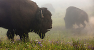 In the thick fog of Yellowstone's Hayden Valley, bull bison prepare for battle during the summer rut. During this time, evenly matched bulls will lock horns to determine who will breed with the females in the herd.