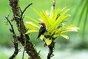 Streak-headed woodcreeper (Lepidocolaptes souleyetii). Photographed in Costa Rica in June