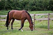 Bay horse grazing in Oxfordshire, United Kingdom