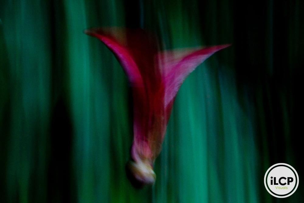 Meranti (Dipterocarpaceae) seed falling, Tawau Hills Park, Sabah, Borneo, Malaysia