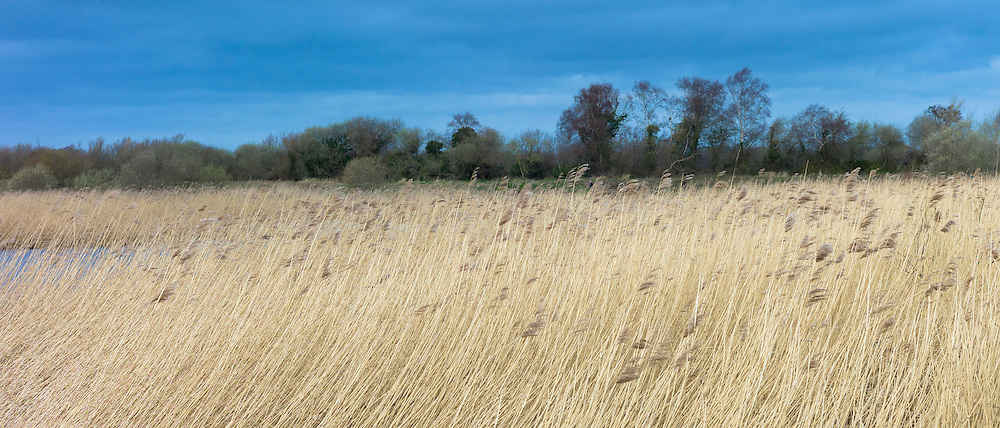 Grasses and reeds in a reedbed in the marshes of The Somerset Levels Nature Reserve in Southern England, UK