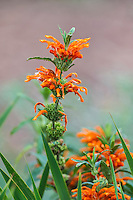 Leonotis leonurus flowers, Kirstenbosch Botanical Gardens, Cape Town, Western Cape, South Africa