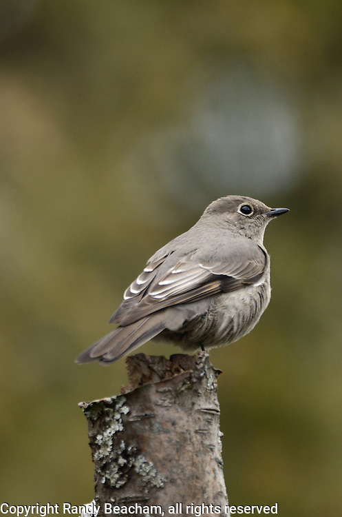 Townsend's solitaire in spring along the Kootenai River. Kootenai Wildlife Management Area outside Libby in Lincoln County, northwest Montana.