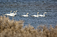 Tundra Swans. Arapaho National Wildlife Refuge. Image taken with a Nikon D2XS and 80-400 mm VR lens (ISO 100, 400 mm, f/5.6, 1/640 sec). Raw image processed with Capture One Pro 6, Photoshop CS5, Nik Define, Nik Color Efex Pro 2.