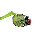 Oak Leaf Roller Beetle (Attelabus nitens) Göhrde, Germany (sequence 9/9) | Das Eichenblattroller-Weibchen (Attelabus nitens) hat sein Werk völlig alleine fertiggestellt. Aus dem Eichenblatt ist ein kompaktes Paket entstanden, in dem die Larve heranwachsen wird.