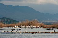 The special reserve at Pančeva oka, a nesting site for the rare Dalmatian pelican (Pelicanus crispus) on Lake Skadar. Lake Skadar national park, Montenegro. Pictured, Bjanka Prakljačić, Project Coordinator of the Conservation of Pelicans of Skadar Lake Project, Noe Conservation © Rudolf Abraham