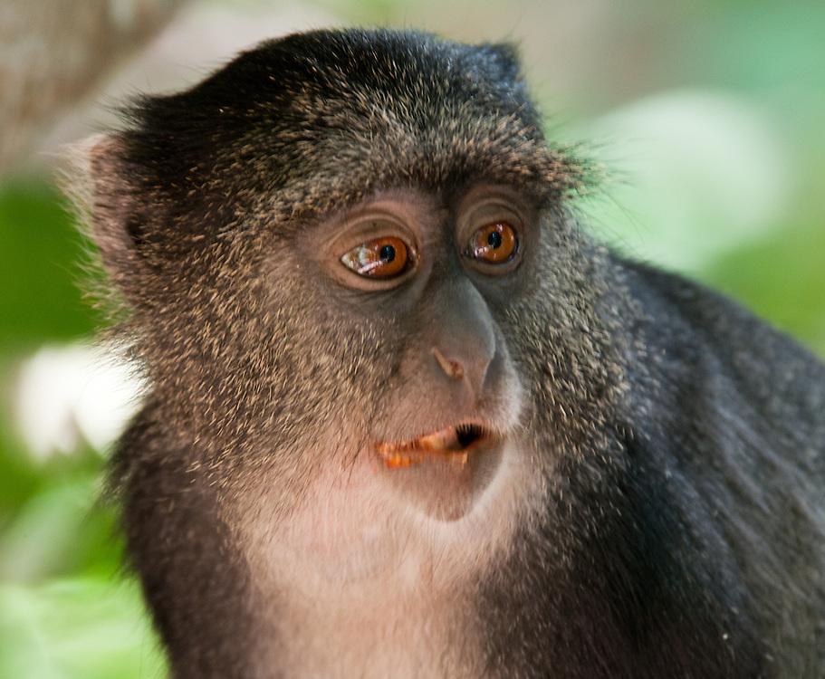 The Blue Monkey - Tumbili