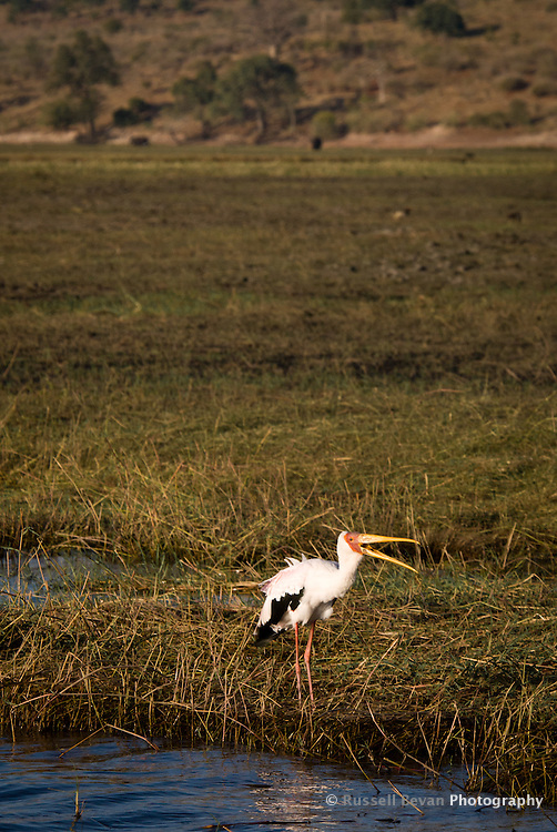 A Yellow-Billed Stork feeding on a riverbank in Chobe National Park, Botswana