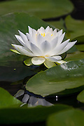 A fragrant water lily (Nymphaea odorata) blooms in the wetlands of the Washington Park Arboretum, Seattle, Washington. The perennial plant floats on the water surface, and can grow in water up to 8 feet (2.5 meters) deep.