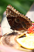 Peleides Blue Morpho (Morpho peleides) feeds on fruit Other common names include Common Morpho or The Emperor