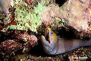 yellow-headed moray, banded moray, or black barred eel, Gymnothorax rueppellii, Ko Bon, Thailand ( Andaman Sea, Indian Ocean )