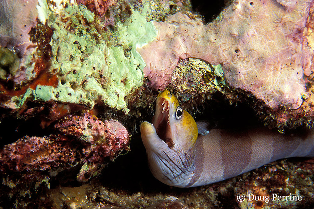 yellow-headed moray, banded moray, or black barred eel, Gymnothorax rueppellii, Ko Bon, Thailand ( Andaman Sea, Indian Ocean )