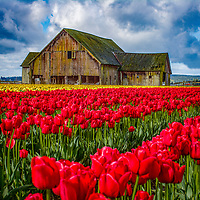 Tulips and Old Barns