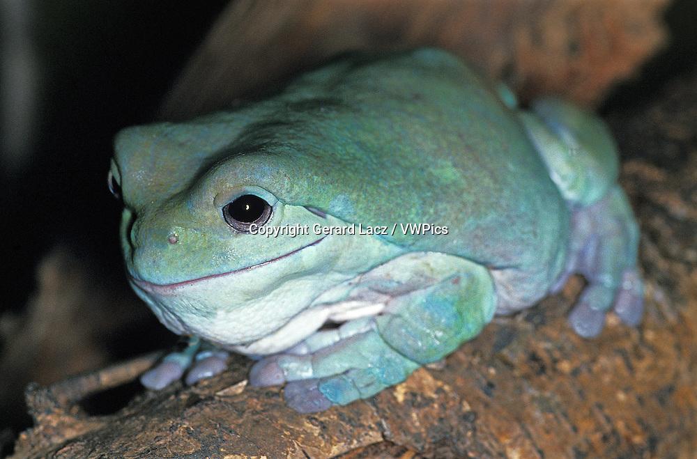White's Tree Frog, litoria caerulea, Adult