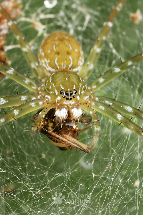 A Nursery Web Spider, Pisauridae sp. with prey.