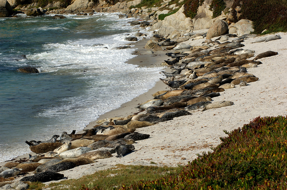 Harbor Seals (Phoca vitolina), Monterey, California, United States of America