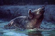 DEU, Deutschland: Hausschwein (Sus Scrofa f. domestica), Sau nimmt ein Schlammbad, Neuenkirchen, Niedersachen | DEU, Germany: Domestic pig (Sus scrofa f. domestica), sow taking a bath in a muddy pond, Neuenkirchen, Niedersachsen |