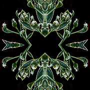 Computer abstract of altered and enhancement of Flora as digital computer art.<br /> <br /> Two or more layers were used to enhance, alter, manipulate the image, creating an abstract surrealistic mirrored symmetry.