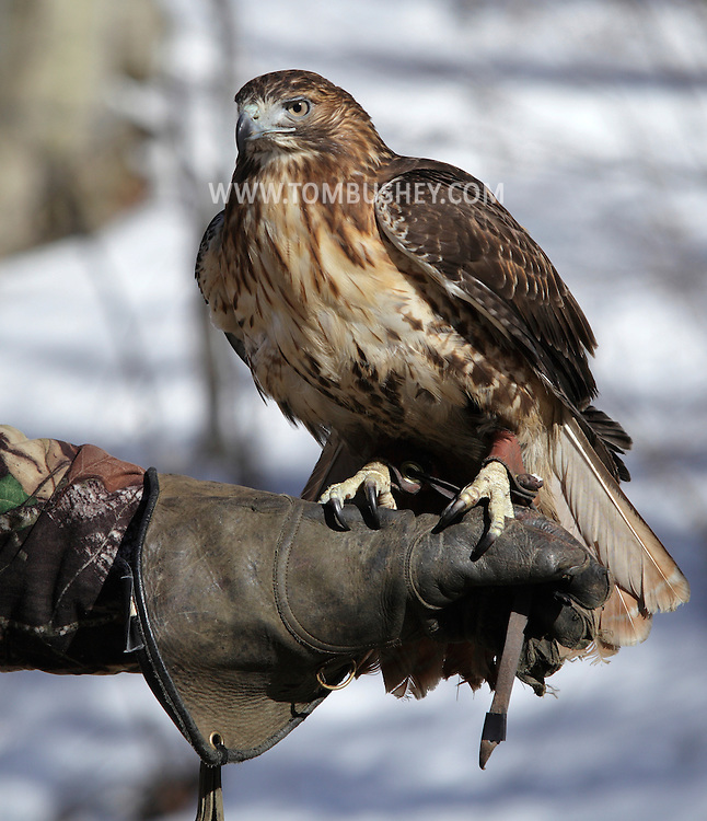Mamakating, New York - A man holds a red-tailed hawk in the Bashakill Wildlife Management Area on March 6, 2010.