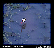 Saddle Billed Stork In Water Hole.Maasai Mara, Kenya.September 2012