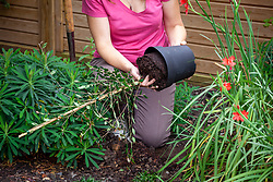 Planting a pot grown shrub in a border