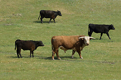 Bull and cows in a pasture