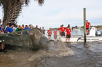 Manatee Health Assessments, Kings Bay, Crystal River, Citrus County, Florida USA. January 24, 2012 am. Researchers from several federal and state agencies work together to gather data during the manatee capture and health assessments. A manatee slaps its tail after capture while being pulled on shore in a net. A Manatee Rescue boats stands by to transport the animal for data collection after control is gained.