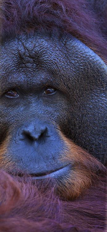 Portrait of a male Orangutan, Pongo pygmaeus, Sarawak, Malaysia
