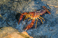 Red Swamp Crayfish, Underwater