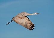 A Sandhill Crane in Flight at Bosque del Apache NWR