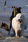 Three playful dogs playing and fighting on a beach
