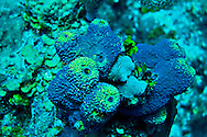 Branching Tube Sponge, Aiolochroia crassa, Leslie's Curl, Grand Cayman