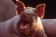 DEU, Deutschland: Hausschwein (Sus Scrofa f. domestica), glückliches Schwein mit Sand an der Nase vom graben im Boden, Seedorf, Schleswig-Holstein | DEU, Germany: Domestic pig (Sus scrofa f. domestica), happy pig with sand on its nose from digging the ground, Seedorf, Schleswig-Holstein |