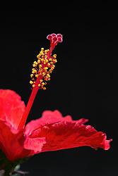 Rosa sinensis, red hibiscus#3