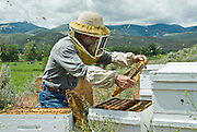 Salmon Valley Honey, beekeeper Dan Mudd inspects his hives.