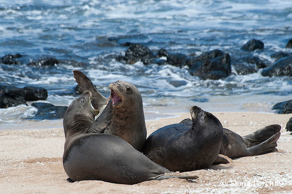 Hawaiian monk seals, Monachus schauinslandi, Critically Endangered endemic species;  a 20+ year old male (R306), center, fights with a 5 year old male (RO36), left front, over a female (R318), on the right; west end of Molokai, Hawaii