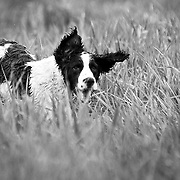 West Allis Training Kennel Club 2009 Flushing Spaniel Hunt Test. Took place May 23, 2009 in Big Bend, WI.  All participating dogs were flushing spaniels.