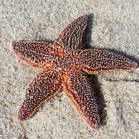 Northern Sea Star, Asterias vulgaris, stranded on the beach, Lavalette, New Jersey