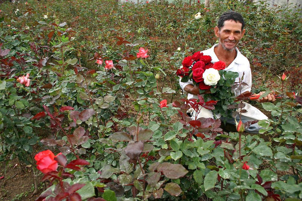Barbacena_MG, Brasil...Plantacao de rosas em Barbacena, Minas Gerais...The roses cultivation in Barbacena, Minas Gerais...Foto: JOAO MARCOS ROSA / NITRO