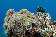 Anemone (Actiniaria)<br /> Cenderawasih Bay<br /> West Papua<br /> Indonesia