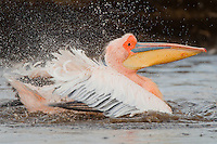 Animal Portraits: Great White Pelican: Pelicanus onocrotalus:  Bathing in a freshwater stream running into Lake Nakuru: No artificial methods were used in the taking of this image and the bird was free and fully wild: