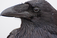 A Common Raven portrait on Hurricane Ridge, Olympic National Park, Washington