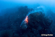 erupting pillow lava at ocean entry of Kilauea Volcano,<br /> Hawaii Island ( the Big Island ), Hawaii, U.S.A. ( Central Pacific Ocean )