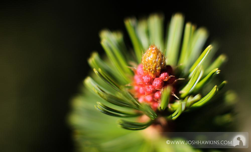 Mt. Charleston in Nevada in the Mojave Desert...Pinus longaeva, Great Basin bristlecone pine, intermountain bristlecone pine..