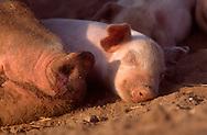 DEU, Deutschland: Hausschwein (Sus Scrofa f. domestica), Ferkel schläft dicht bei der Nase seiner Mutter, Seedorf, Schleswig-Holstein | DEU, Germany: Domestic pig (Sus scrofa f. domestica), piglet sleeping close by the snout of its mother, Seedorf, Schleswig-Holstein |